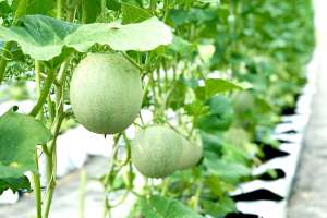 GREENHOUSES FOR MELON